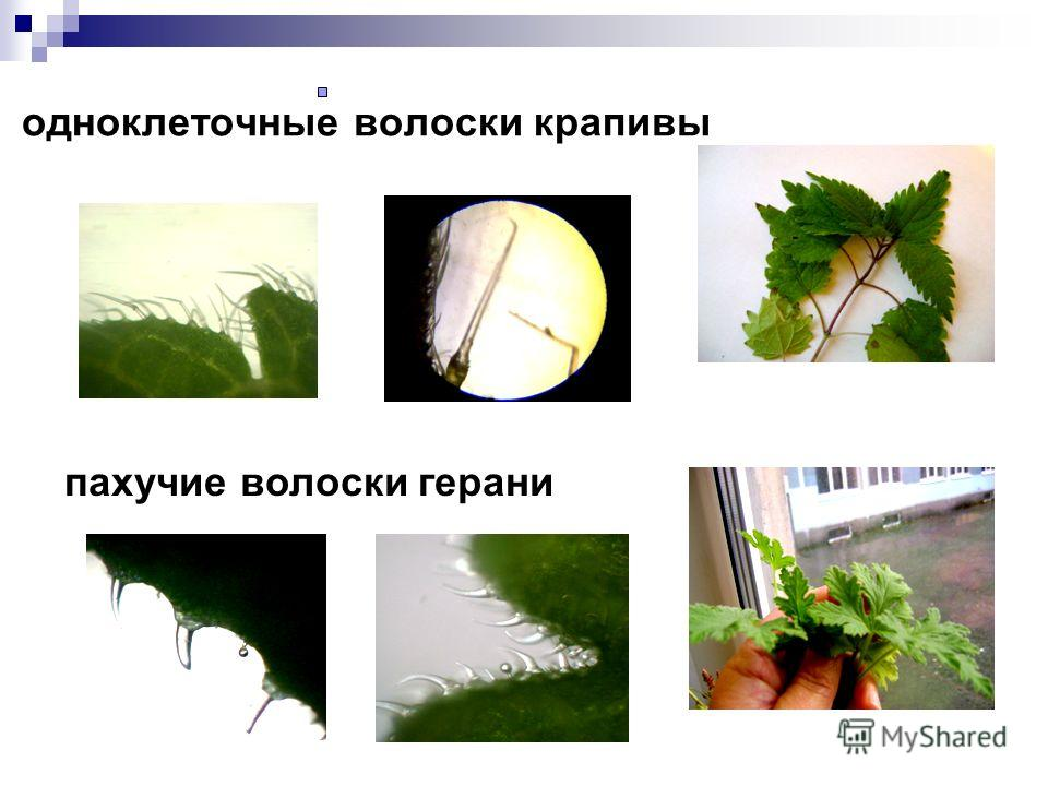 одноклеточные волоски крапивы пахучие волоски герани
