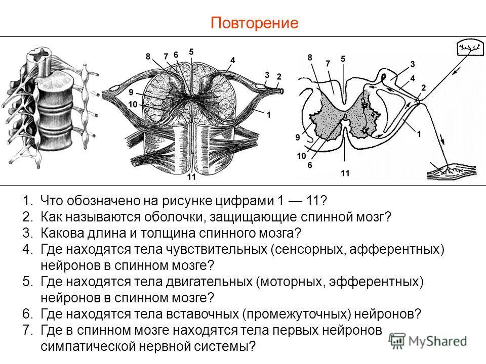 Повторение 1.Что обозначено на рисунке цифрами 1 11? 2.Как называются оболочки, защищающие спинной мозг? 3.Какова длина и толщина спинного мозга? 4.Где находятся тела чувствительных (сенсорных, афферентных) нейронов в спинном мозге? 5.Где находятся т