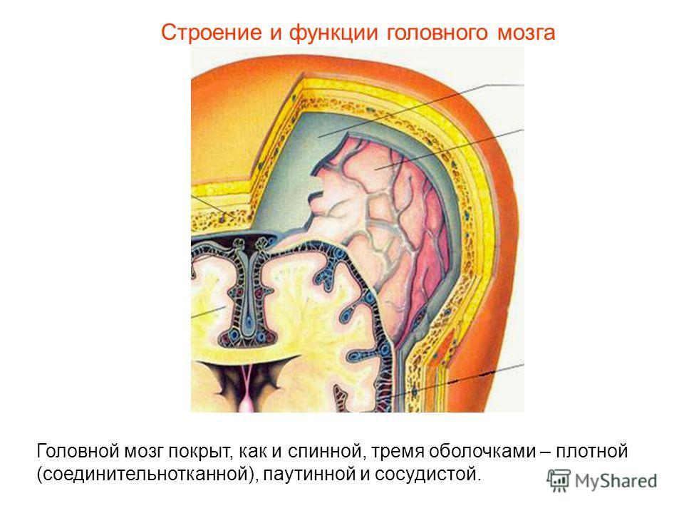 Строение и функции головного мозга Головной мозг покрыт, как и спинной, тремя оболочками – плотной (соединительнотканной), паутинной и сосудистой.