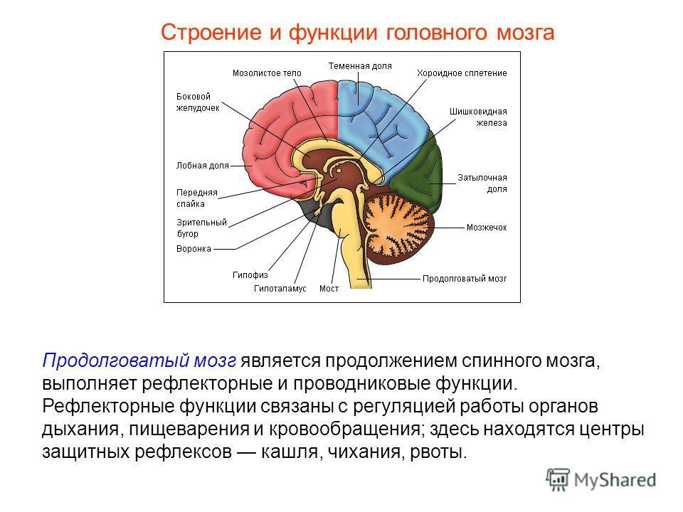 Строение и функции головного мозга Продолговатый мозг является продолжением спинного мозга, выполняет рефлекторные и проводниковые функции. Рефлекторные функции связаны с регуляцией работы органов дыхания, пищеварения и кровообращения; здесь находятс