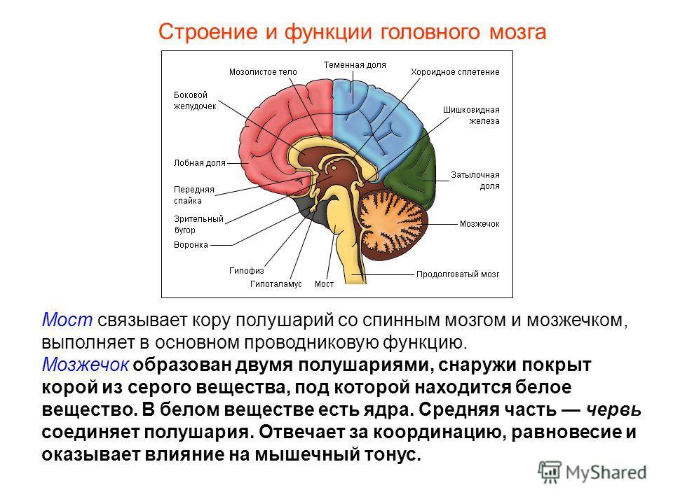 Строение и функции головного мозга Мост связывает кору полушарий со спинным мозгом и мозжечком, выполняет в основном проводниковую функцию. Мозжечок образован двумя полушариями, снаружи покрыт корой из серого вещества, под которой находится белое вещ