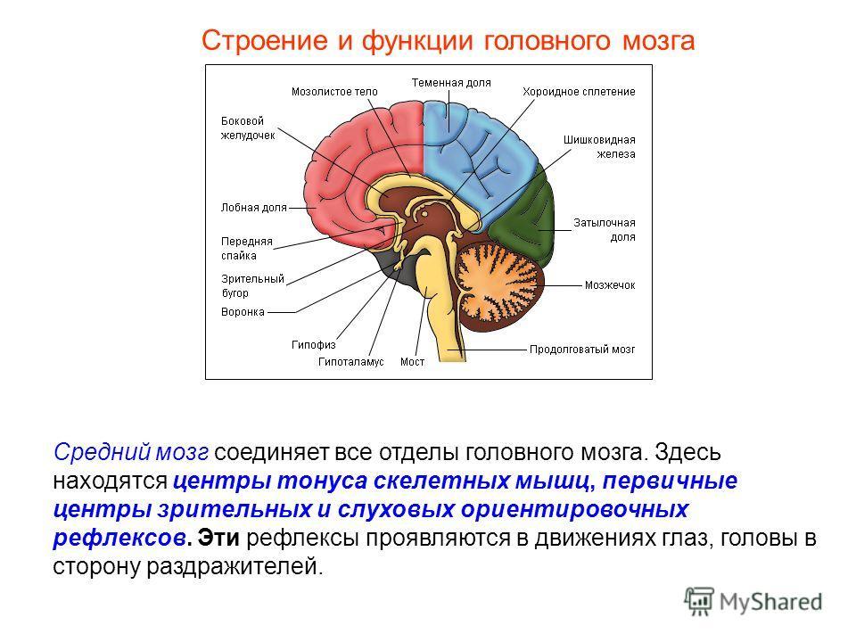Строение и функции головного мозга Средний мозг соединяет все отделы головного мозга. Здесь находятся центры тонуса скелетных мышц, первичные центры зрительных и слуховых ориентировочных рефлексов. Эти рефлексы проявляются в движениях глаз, головы в