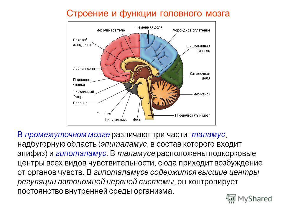 Строение и функции головного мозга В промежуточном мозге различают три части: таламус, надбугорную область (эпиталамус, в состав которого входит эпифиз) и гипоталамус. В таламусе расположены подкорковые центры всех видов чувствительности, сюда приход