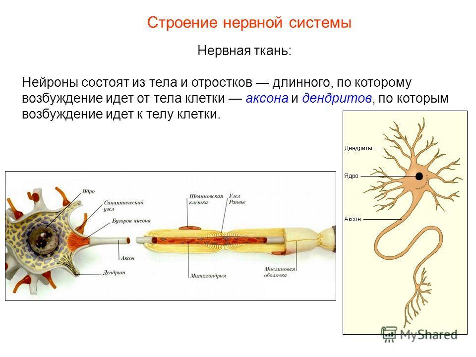 Строение нервной системы Нервная ткань: Нейроны состоят из тела и отростков длинного, по которому возбуждение идет от тела клетки аксона и дендритов, по которым возбуждение идет к телу клетки.