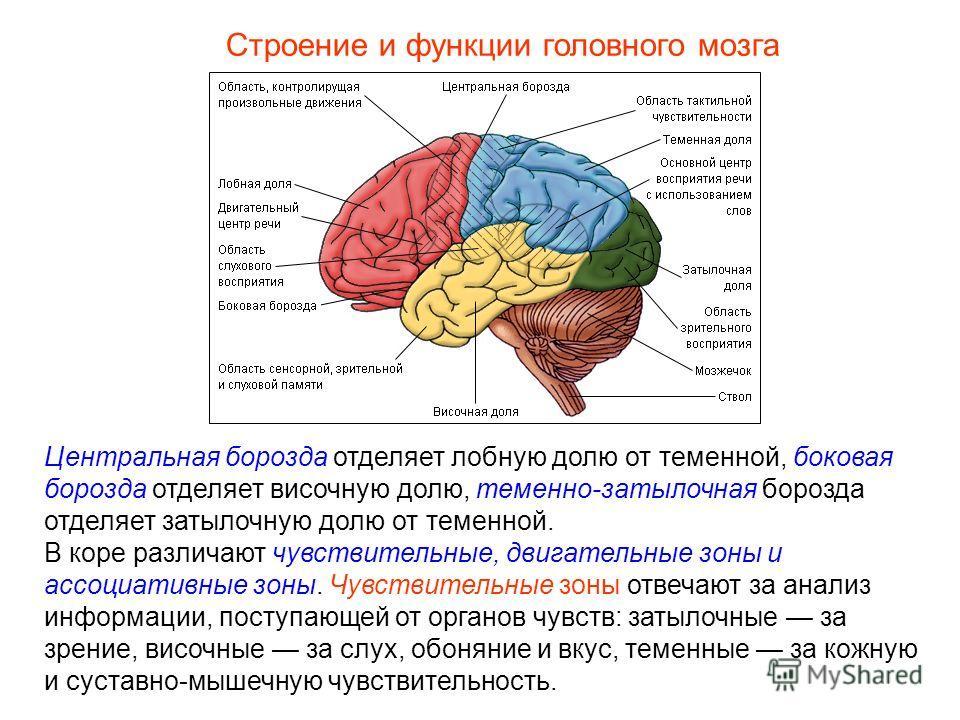 Строение и функции головного мозга Центральная борозда отделяет лобную долю от теменной, боковая борозда отделяет височную долю, теменно-затылочная борозда отделяет затылочную долю от теменной. В коре различают чувствительные, двигательные зоны и асс