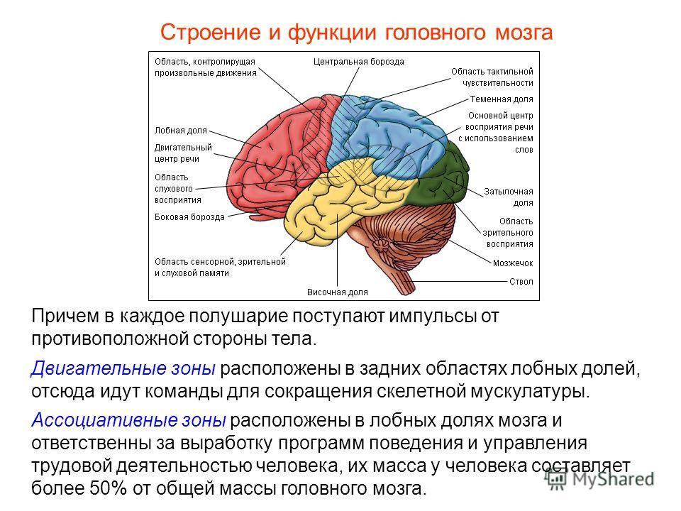 Строение и функции головного мозга Причем в каждое полушарие поступают импульсы от противоположной стороны тела. Двигательные зоны расположены в задних областях лобных долей, отсюда идут команды для сокращения скелетной мускулатуры. Ассоциативные зон