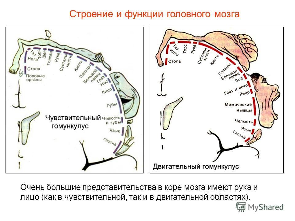 Строение и функции головного мозга Очень большие представительства в коре мозга имеют рука и лицо (как в чувствительной, так и в двигательной областях).