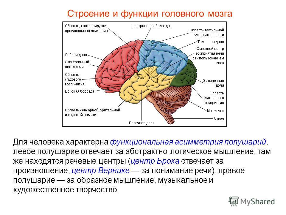 Строение и функции головного мозга Для человека характерна функциональная асимметрия полушарий, левое полушарие отвечает за абстрактно-логическое мышление, там же находятся речевые центры (центр Брока отвечает за произношение, центр Вернике за понима