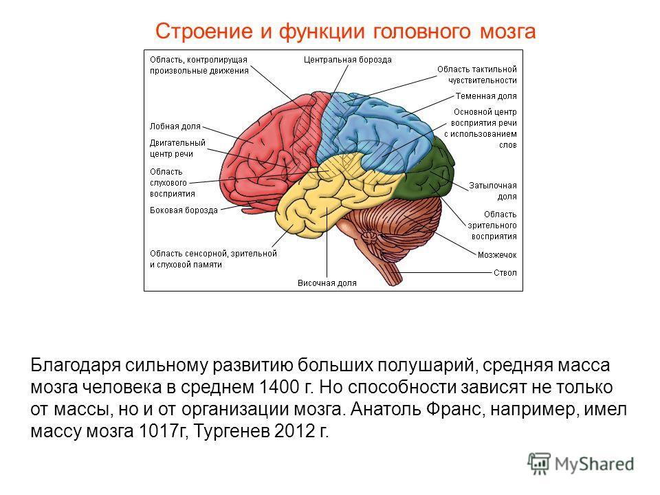 Строение и функции головного мозга Благодаря сильному развитию больших полушарий, средняя масса мозга человека в среднем 1400 г. Но способности зависят не только от массы, но и от организации мозга. Анатоль Франс, например, имел массу мозга 1017г, Ту