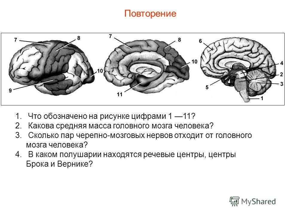 Повторение 1. Что обозначено на рисунке цифрами 1 11? 2. Какова средняя масса головного мозга человека? 3. Сколько пар черепно-мозговых нервов отходит от головного мозга человека? 4. В каком полушарии находятся речевые центры, центры Брока и Вернике?