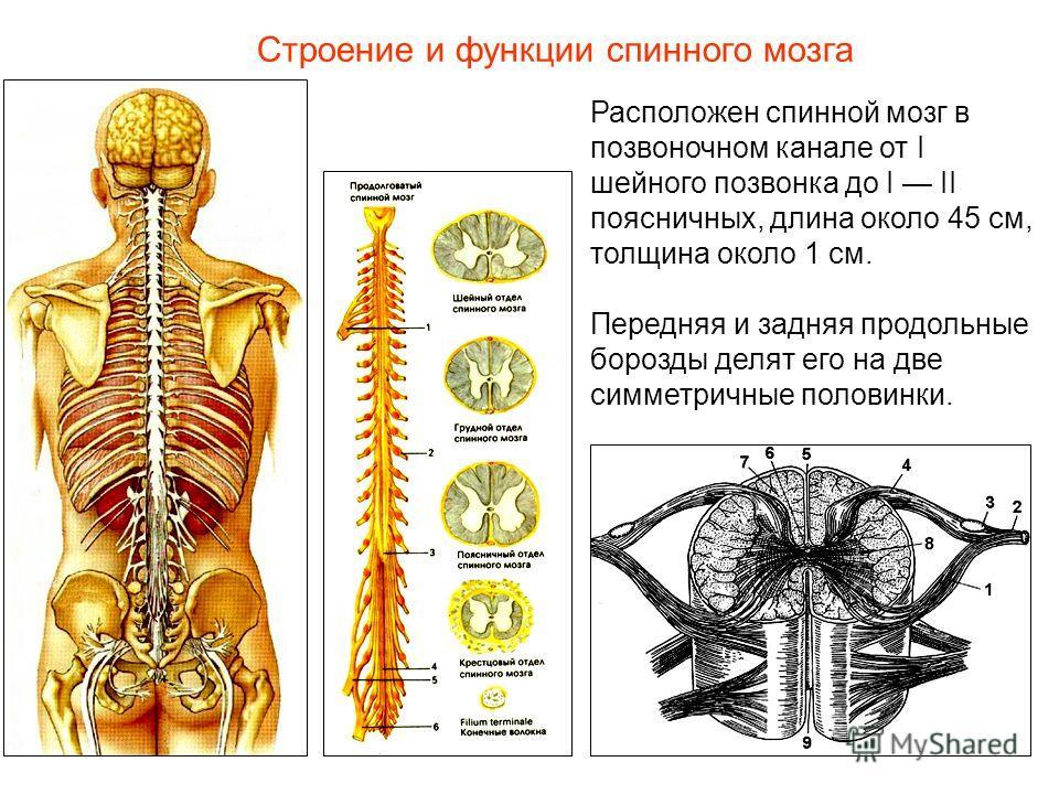 Строение и функции спинного мозга Расположен спинной мозг в позвоночном канале от I шейного позвонка до I II поясничных, длина около 45 см, толщина около 1 см. Передняя и задняя продольные борозды делят его на две симметричные половинки.
