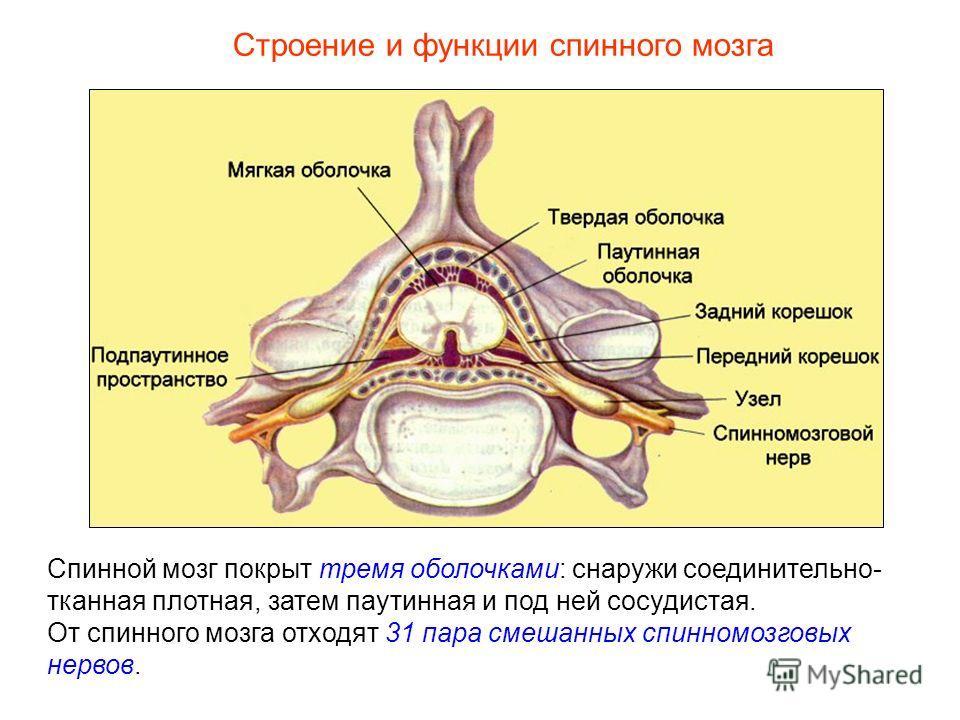 Строение и функции спинного мозга Спинной мозг покрыт тремя оболочками: снаружи соединительно- тканная плотная, затем паутинная и под ней сосудистая. От спинного мозга отходят 31 пара смешанных спинномозговых нервов.