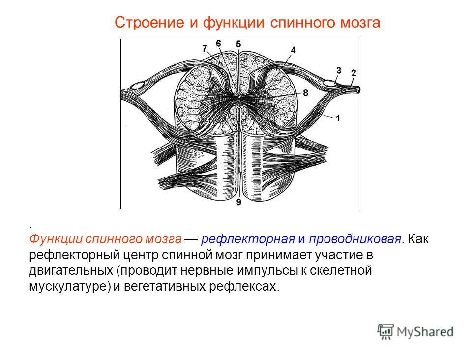 Строение и функции спинного мозга. Функции спинного мозга рефлекторная и проводниковая. Как рефлекторный центр спинной мозг принимает участие в двигательных (проводит нервные импульсы к скелетной мускулатуре) и вегетативных рефлексах.