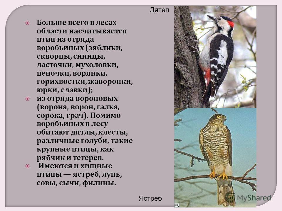 Больше всего в лесах области насчитывается птиц из отряда воробьиных ( зяблики, скворцы, синицы, ласточки, мухоловки, пеночки, ворянки, горихвостки, жаворонки, юрки, славки ); из отряда вороновых ( ворона, ворон, галка, сорока, грач ). Помимо воробьи