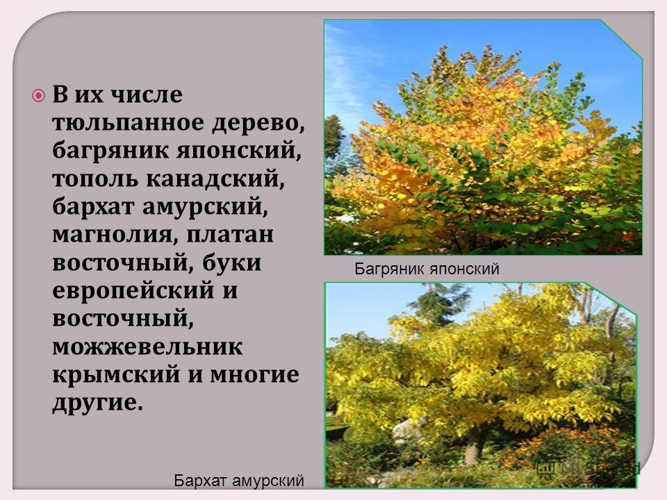 В их числе тюльпанное дерево, багряник японский, тополь канадский, бархат амурский, магнолия, платан восточный, буки европейский и восточный, можжевельник крымский и многие другие. Багряник японский Бархат амурский