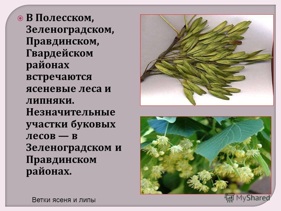 В Полесском, Зеленоградском, Правдинском, Гвардейском районах встречаются ясеневые леса и липняки. Незначительные участки буковых лесов в Зеленоградском и Правдинском районах. Ветки ясеня и липы