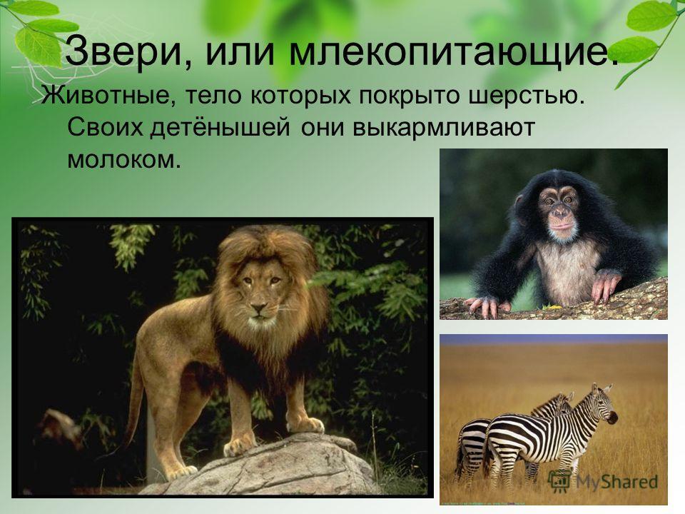 Звери, или млекопитающие. Животные, тело которых покрыто шерстью. Своих детёнышей они выкармливают молоком.
