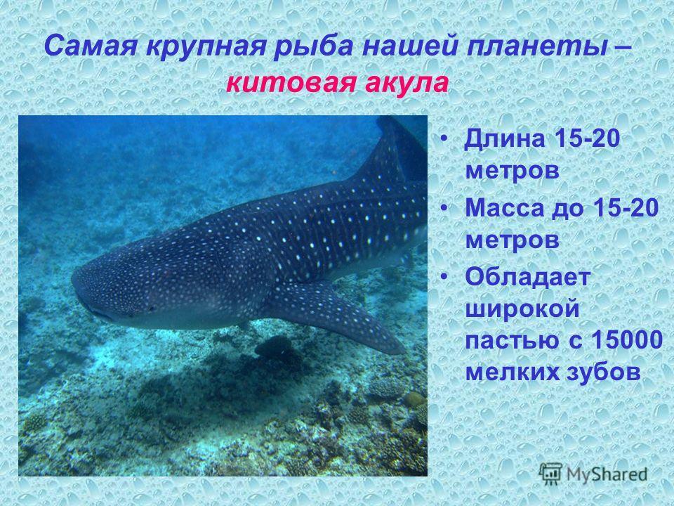 Самая крупная рыба нашей планеты – китовая акула Длина 15-20 метров Масса до 15-20 метров Обладает широкой пастью с 15000 мелких зубов