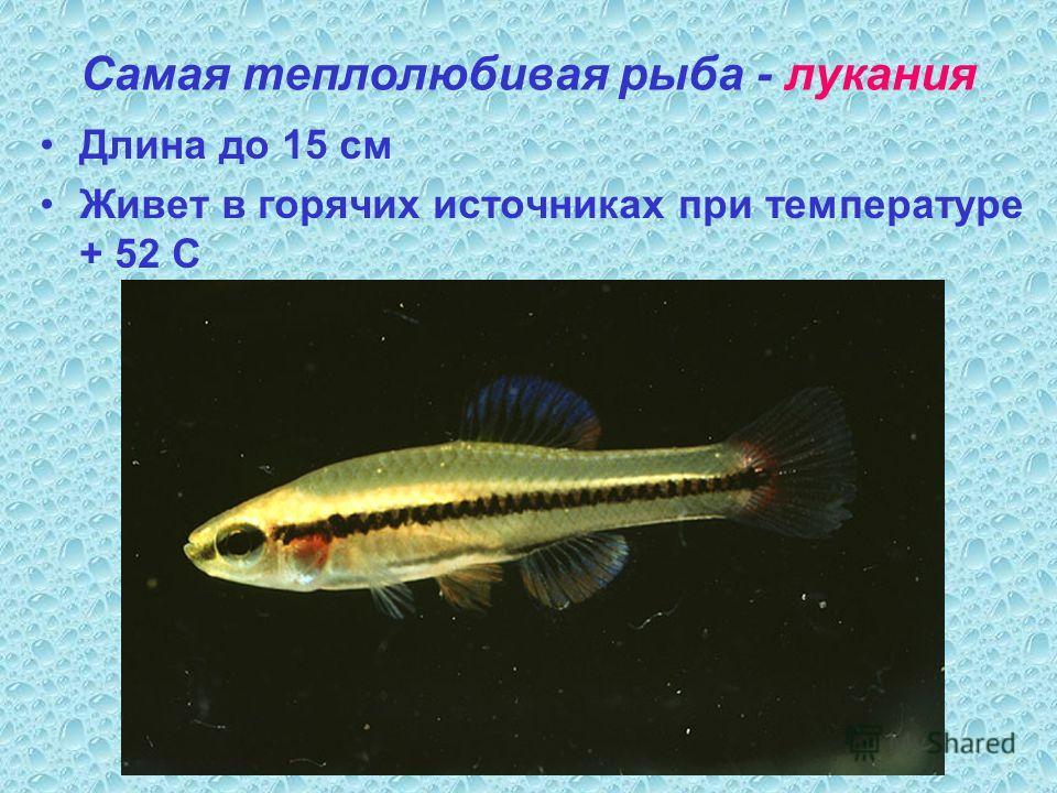 Самая теплолюбивая рыба - лукания Длина до 15 см Живет в горячих источниках при температуре + 52 С