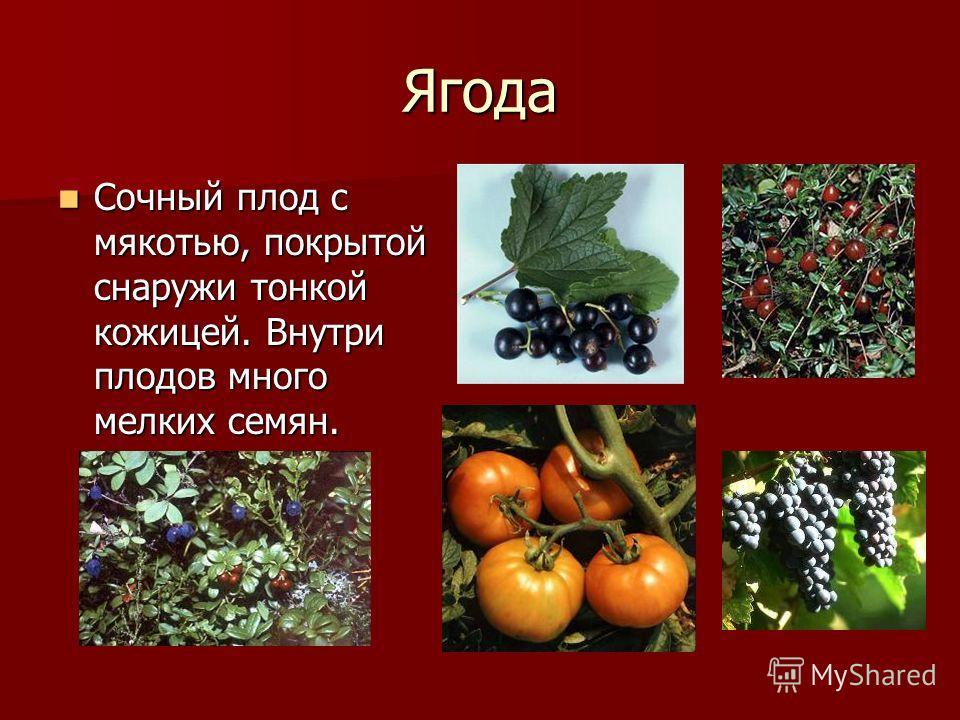 Ягода Сочный плод с мякотью, покрытой снаружи тонкой кожицей. Внутри плодов много мелких семян. Сочный плод с мякотью, покрытой снаружи тонкой кожицей. Внутри плодов много мелких семян.