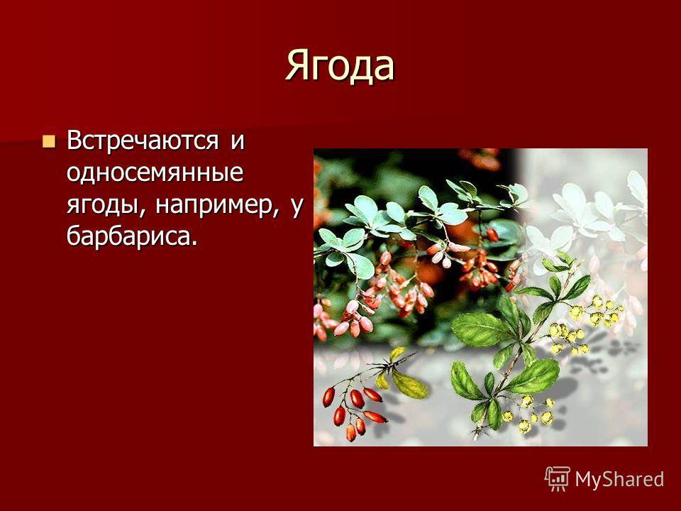 Ягода Встречаются и односемянные ягоды, например, у барбариса. Встречаются и односемянные ягоды, например, у барбариса.