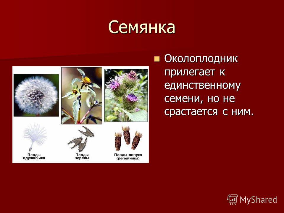 Семянка Околоплодник прилегает к единственному семени, но не срастается с ним. Околоплодник прилегает к единственному семени, но не срастается с ним.