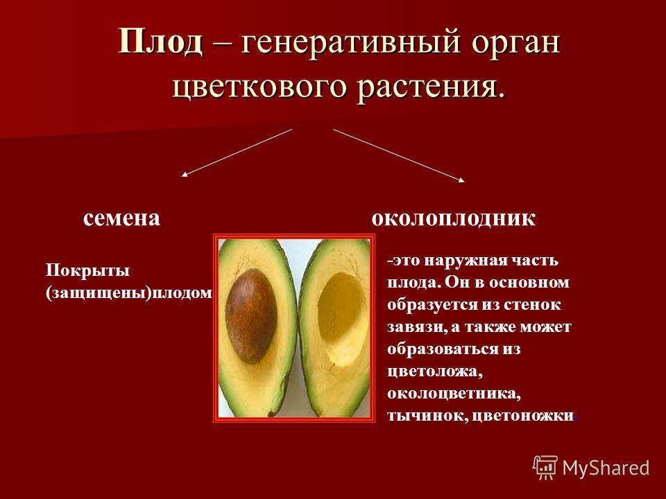 Плод – генеративный орган цветкового растения. семенаоколоплодник Покрыты (защищены)плодом -это наружная часть плода. Он в основном образуется из стенок завязи, а также может образоваться из цветоложа, околоцветника, тычинок, цветоножки.