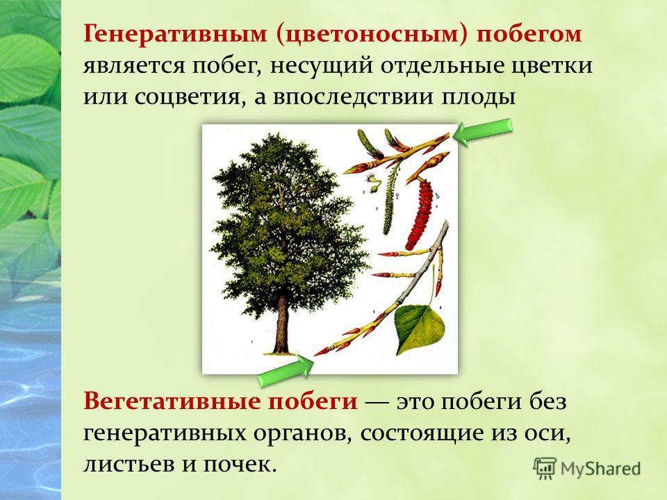 Вегетативные побеги это побеги без генеративных органов, состоящие из оси, листьев и почек. Генеративным (цветоносным) побегом является побег, несущий отдельные цветки или соцветия, а впоследствии плоды