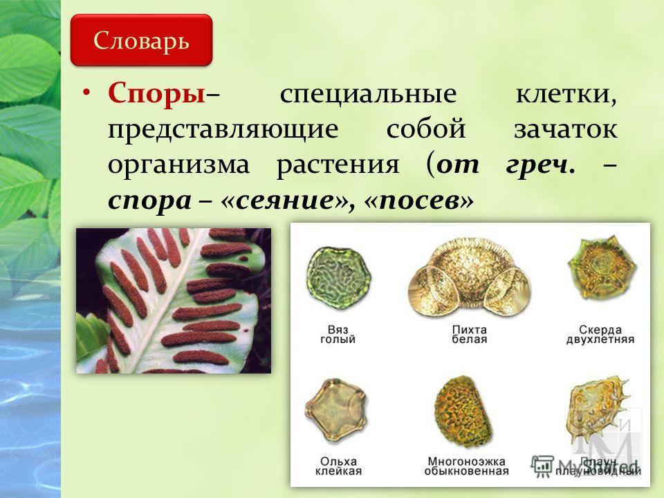 Словарь Споры– специальные клетки, представляющие собой зачаток организма растения (от греч. – спора – «сеяние», «посев»