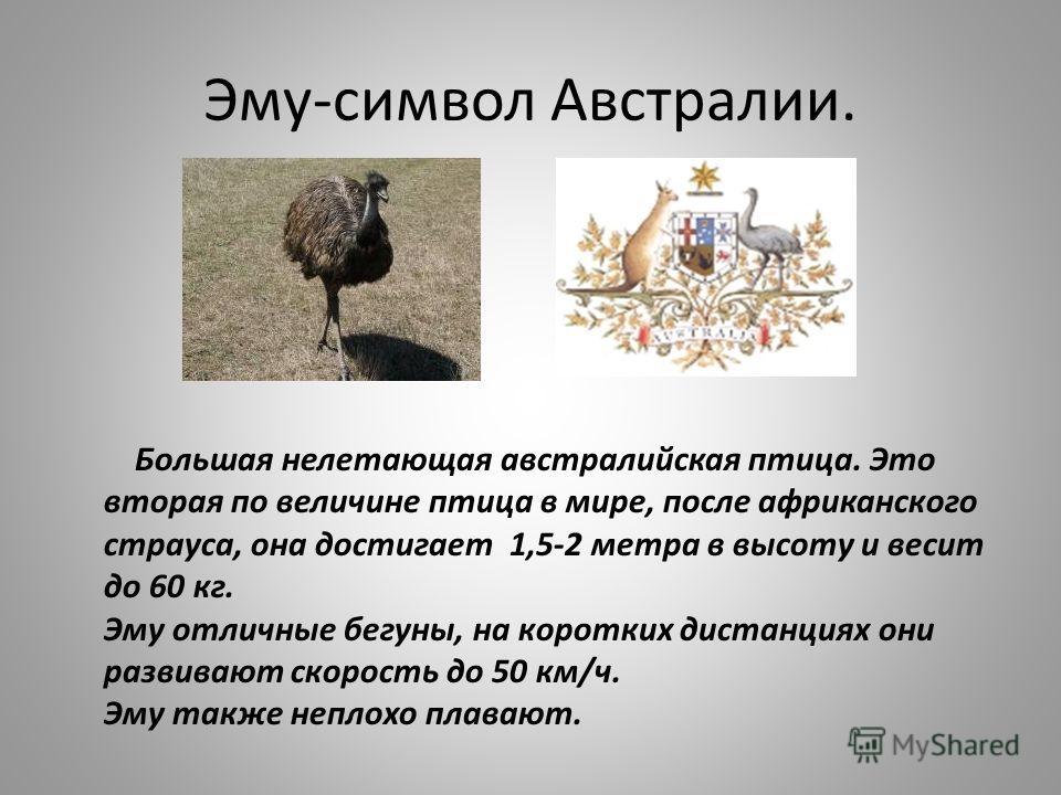 Эму-символ Австралии. Большая нелетающая австралийская птица. Это вторая по величине птица в мире, после африканского страуса, она достигает 1,5-2 метра в высоту и весит до 60 кг. Эму отличные бегуны, на коротких дистанциях они развивают скорость до