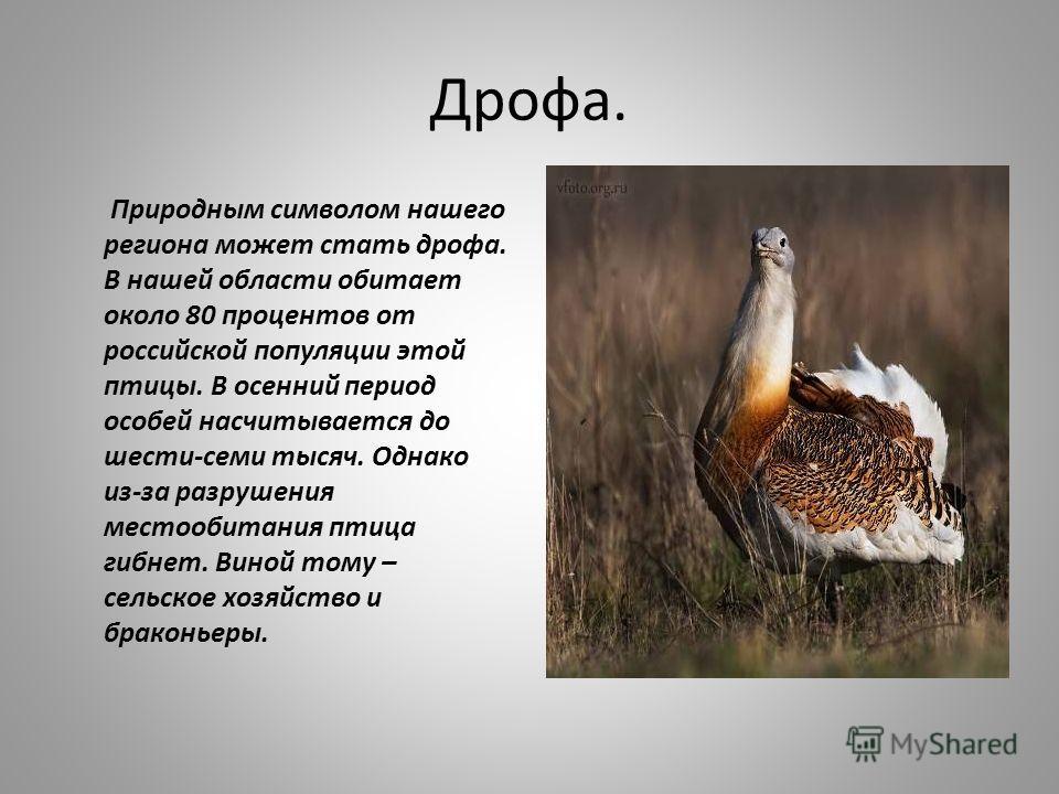 Дрофа. Природным символом нашего региона может стать дрофа. В нашей области обитает около 80 процентов от российской популяции этой птицы. В осенний период особей насчитывается до шести-семи тысяч. Однако из-за разрушения местообитания птица гибнет.