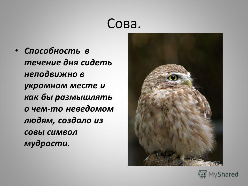 Сова. Способность в течение дня сидеть неподвижно в укромном месте и как бы размышлять о чем-то неведомом людям, создало из совы символ мудрости.