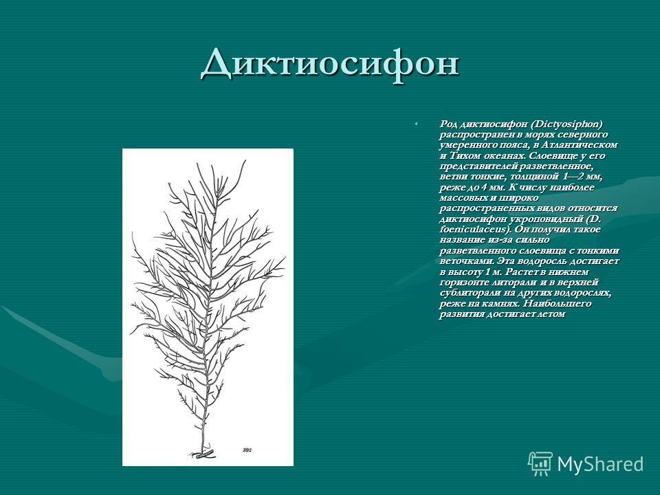Диктиосифон Род диктиосифон (Dictyosiphon) распространен в морях северного умеренного пояса, в Атлантическом и Тихом океанах. Слоевище у его представителей разветвленное, ветви тонкие, толщиной 12 мм, реже до 4 мм. К числу наиболее массовых и широко