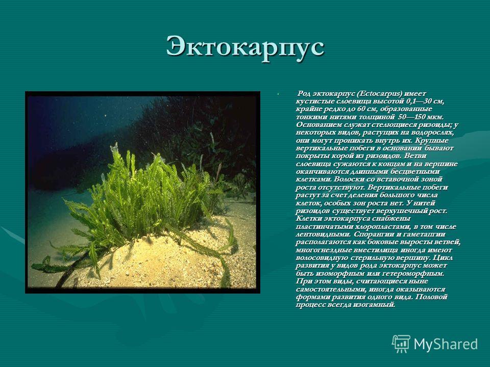 Эктокарпус Род эктокарпус (Ectocarpus) имеет кустистые слоевища высотой 0,130 см, крайне редко до 60 см, образованные тонкими нитями толщиной 50150 мкм. Основанием служат стелющиеся ризоиды; у некоторых видов, растущих на водорослях, они могут проник
