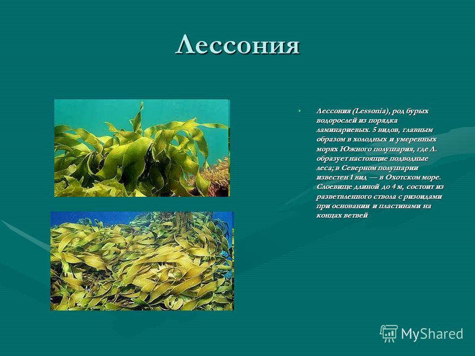 Лессония Лессония (Lessonia), род бурых водорослей из порядка ламинариевых. 5 видов, главным образом в холодных и умеренных морях Южного полушария, где Л. образует настоящие подводные леса; в Северном полушарии известен 1 вид в Охотском море. Слоевищ