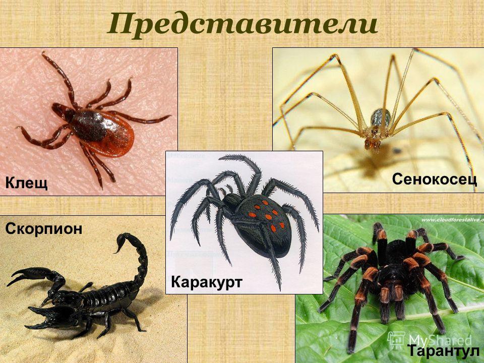 Представители Скорпион Клещ Тарантул Сенокосец Каракурт