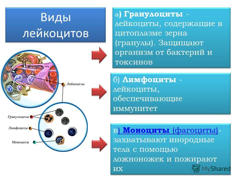 а ) Гранулоциты - лейкоциты, содержащие в цитоплазме зерна (гранулы). Защищают организм от бактерий и токсинов Виды лейкоцитов б) Лимфоциты - лейкоциты, обеспечивающие иммунитет в) Моноциты (фагоциты)- захватывают инородные тела с помощью ложноножек