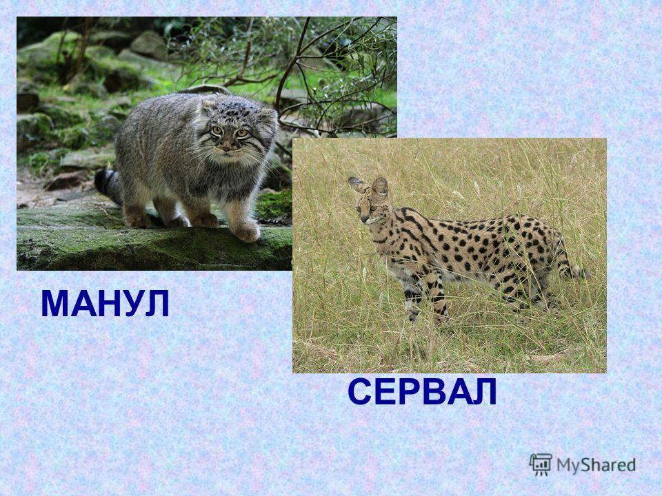 МАНУЛ СЕРВАЛ