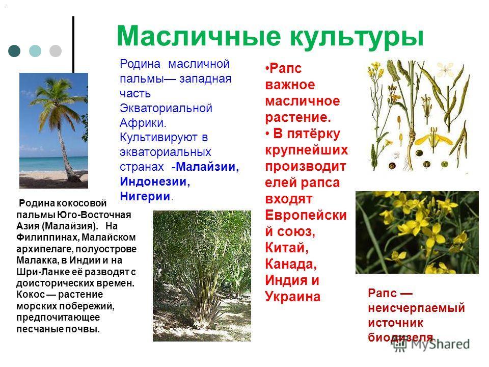Масличные культуры Рапс неисчерпаемый источник биодизеля. Рапс важное масличное растение. В пятёрку крупнейших производит елей рапса входят Европейски й союз, Китай, Канада, Индия и Украина Родина масличной пальмы западная часть Экваториальной Африки