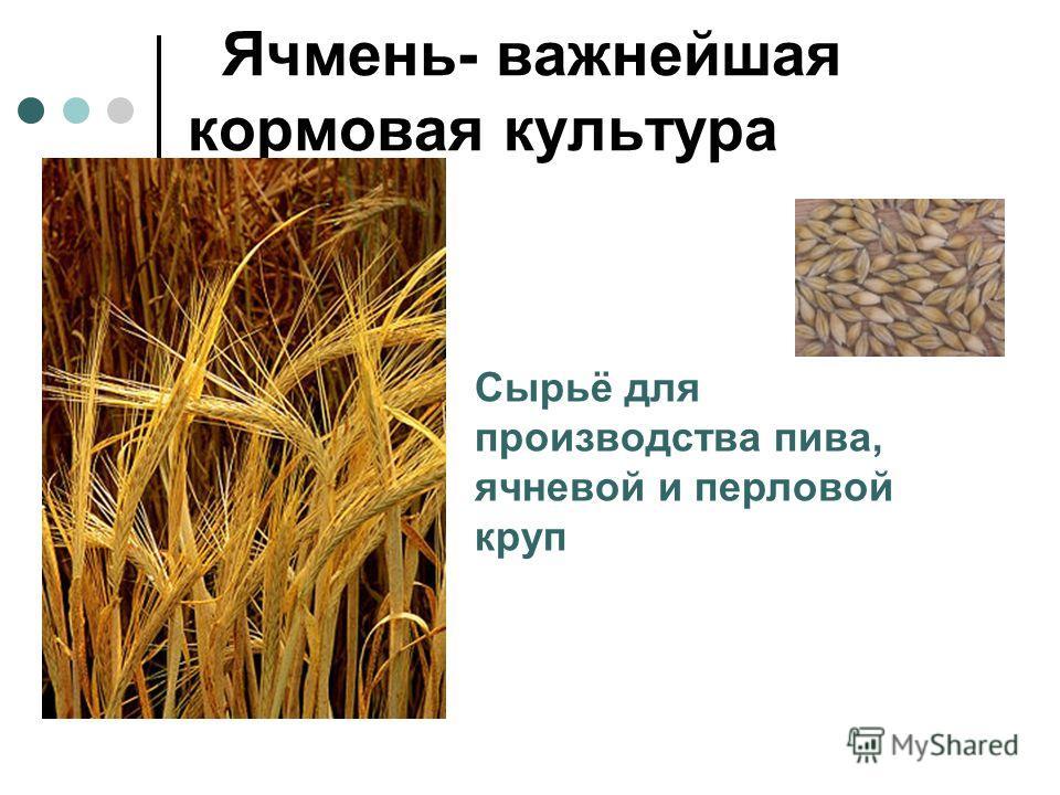Ячмень- важнейшая кормовая культура Сырьё для производства пива, ячневой и перловой круп
