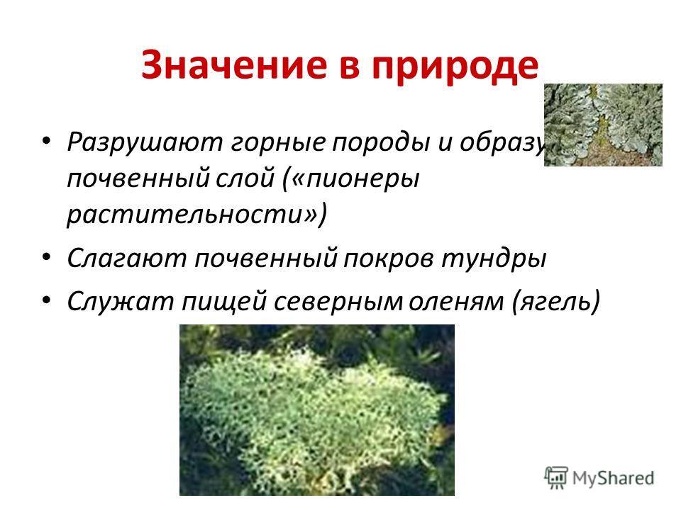 Значение в природе Разрушают горные породы и образуют почвенный слой («пионеры растительности») Слагают почвенный покров тундры Служат пищей северным оленям (ягель)