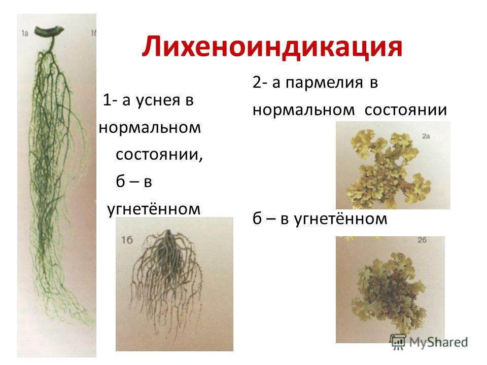 Лихеноиндикация 1- а уснея в нормальном состоянии, б – в угнетённом 2- а пармелия в нормальном состоянии б – в угнетённом