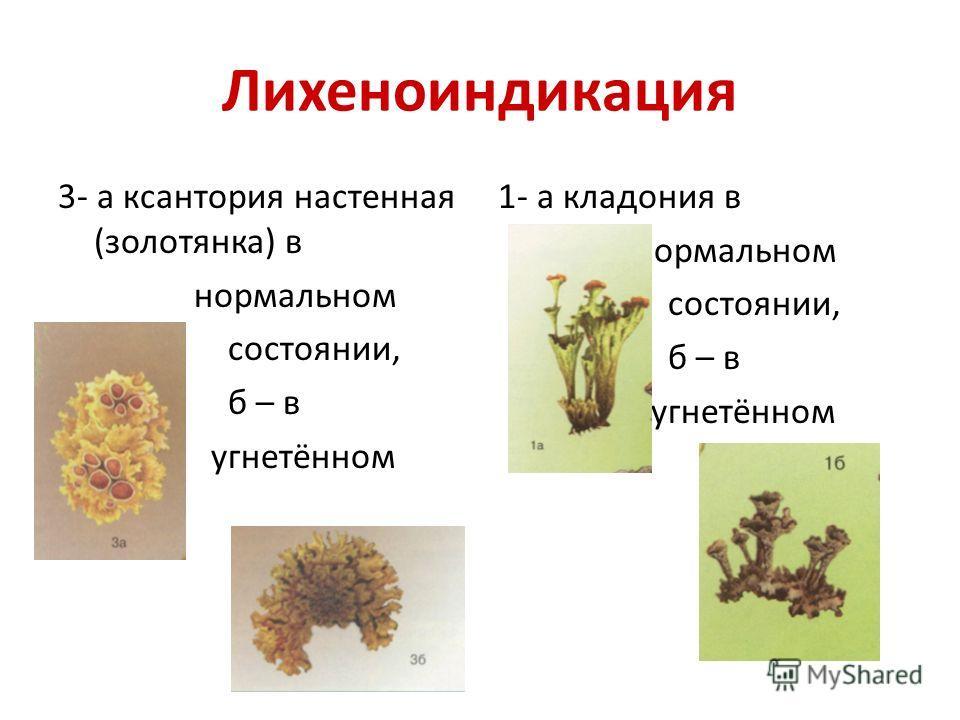 Лихеноиндикация 3- а ксантория настенная (золотянка) в нормальном состоянии, б – в угнетённом 1- а кладония в нормальном состоянии, б – в угнетённом