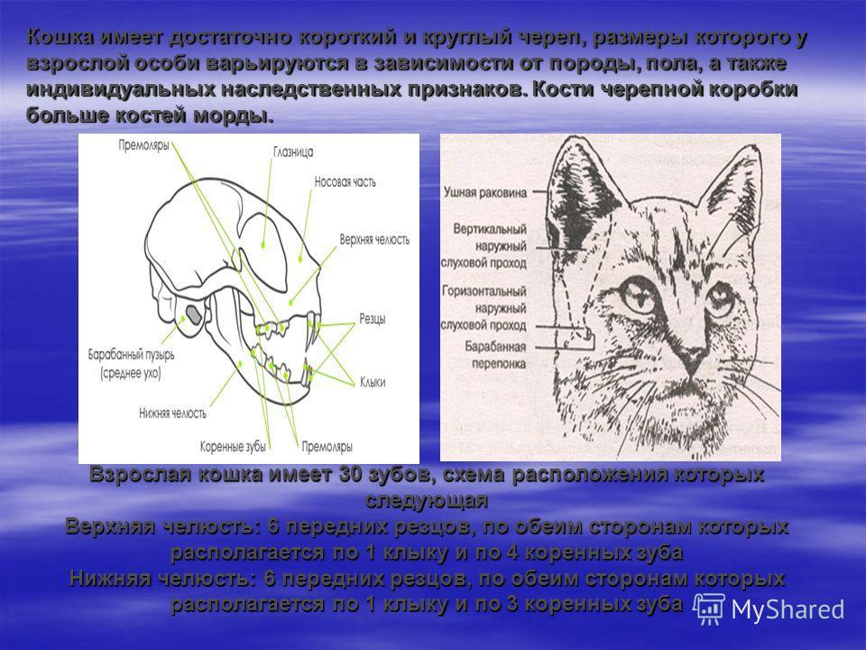 Кошка имеет достаточно короткий и круглый череп, размеры которого у взрослой особи варьируются в зависимости от породы, пола, а также индивидуальных наследственных признаков. Кости черепной коробки больше костей морды. Взрослая кошка имеет 30 зубов,