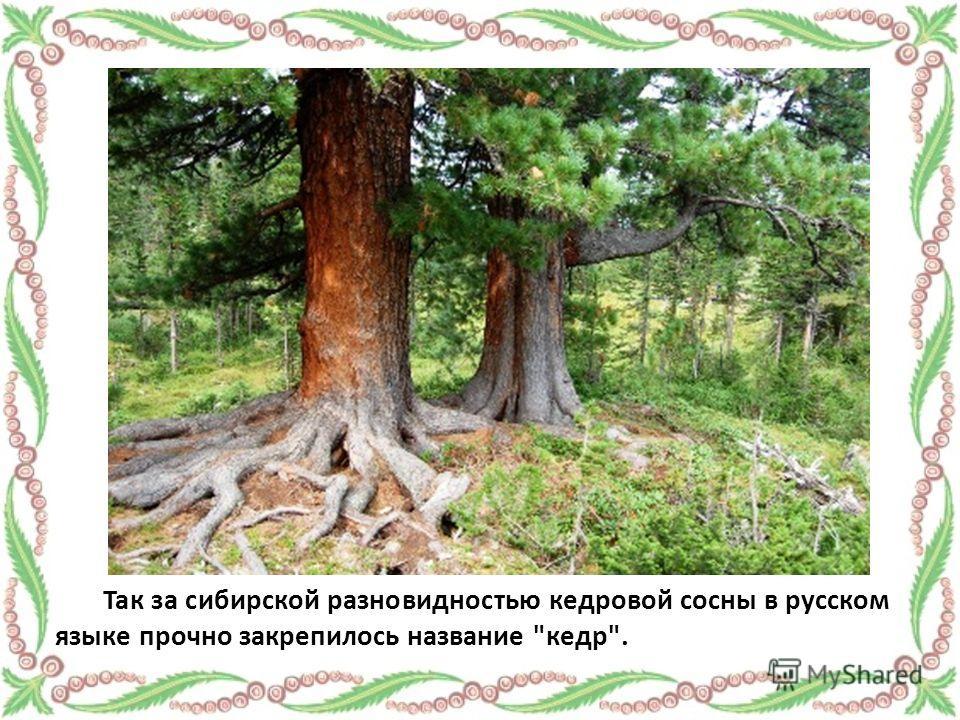 Так за сибирской разновидностью кедровой сосны в русском языке прочно закрепилось название кедр.