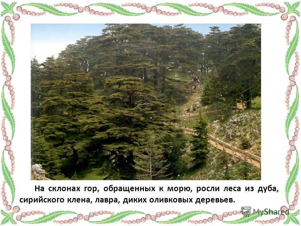 На склонах гор, обращенных к морю, росли леса из дуба, сирийского клена, лавра, диких оливковых деревьев.