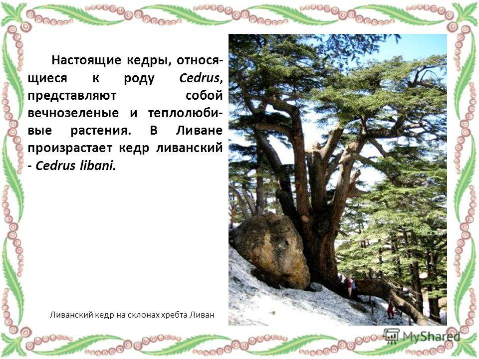 Настоящие кедры, относя- щиеся к роду Cedrus, представляют собой вечнозеленые и теплолюби- вые растения. В Ливане произрастает кедр ливанский - Cedrus libani. Ливанский кедр на склонах хребта Ливан