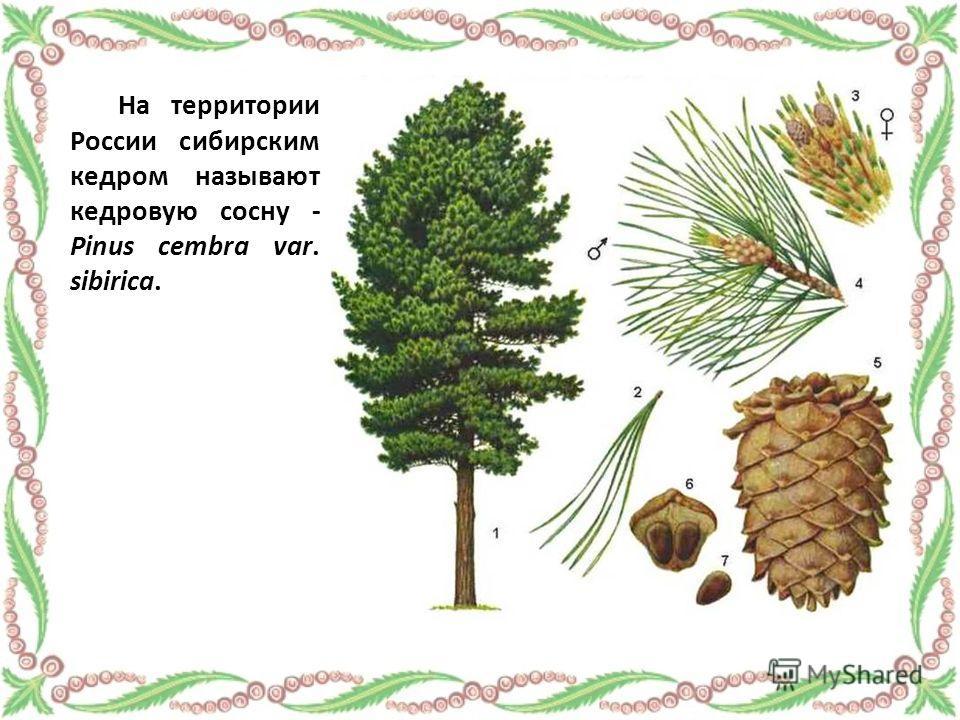 На территории России сибирским кедром называют кедровую сосну - Pinus cembra var. sibirica.