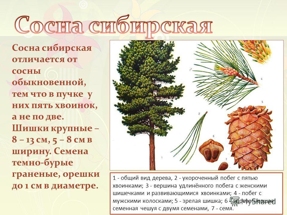 Сосна сибирская отличается от сосны обыкновенной, тем что в пучке у них пять хвоинок, а не по две. Шишки крупные – 8 – 13 см, 5 – 8 см в ширину. Семена темно-бурые граненые, орешки до 1 см в диаметре. 1 - общий вид дерева, 2 - укороченный побег с пят
