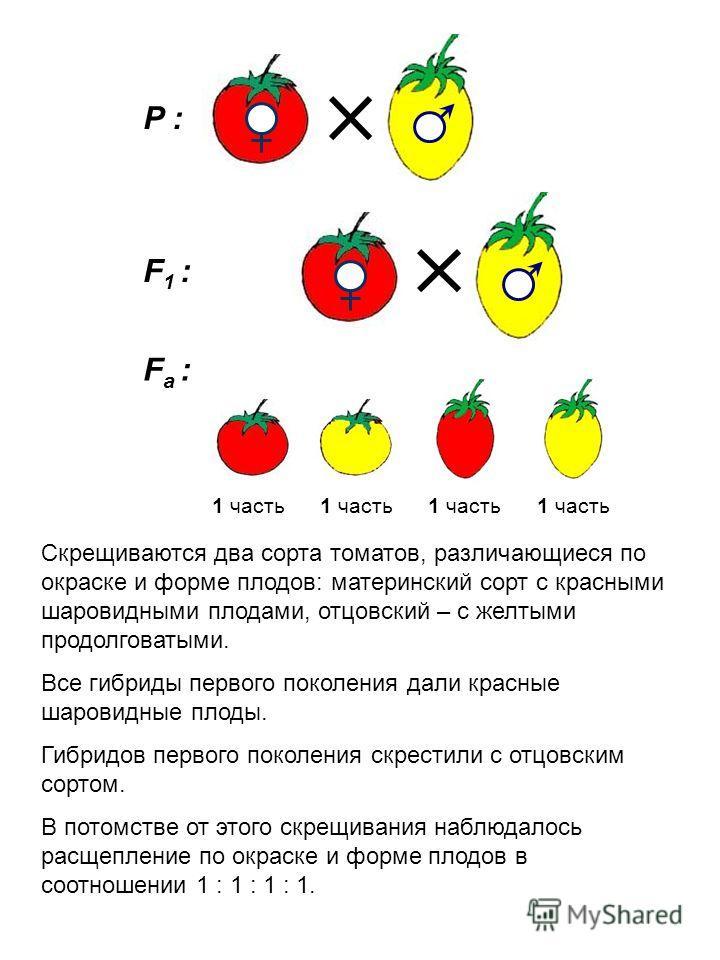 F а : P : F1 :F1 : 1 часть Скрещиваются два сорта томатов, различающиеся по окраске и форме плодов: материнский сорт с красными шаровидными плодами, отцовский – с желтыми продолговатыми. Все гибриды первого поколения дали красные шаровидные плоды. Ги